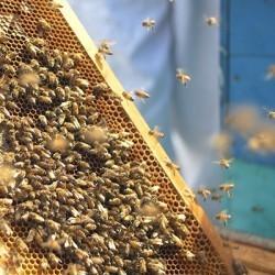 Achat d'essaim d'abeilles & de reine pour votre ruche | Obee Shop